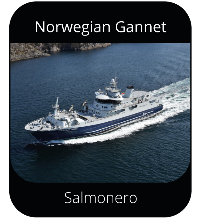 Norwegian Gannet - Salmonero